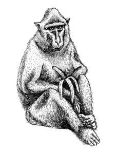Fig. B. Macaque dégustant une banane courbée.