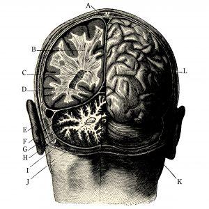 Fig. B. Coupe d'un cerveau suranné formaté par Lagarde et Michard.