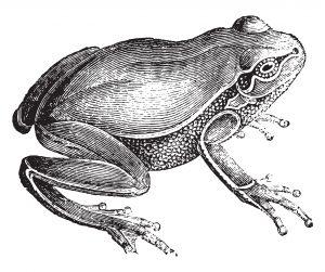 Avoir des grenouilles dans le ventre