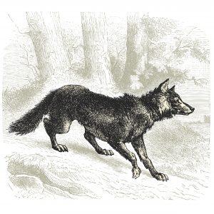 voir le loup